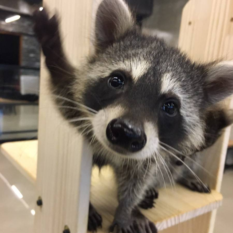 South Korea Travel Animal Cafe Unique Experience Animal Lovers Coffee Kids Raccoon